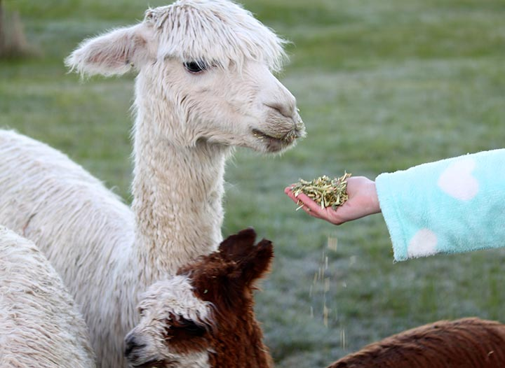 Friendly alpacas